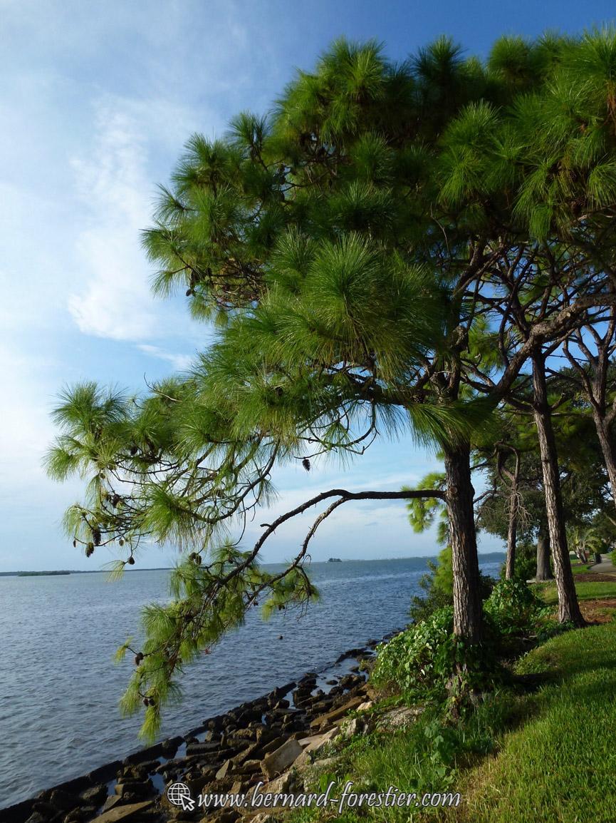 Pins en bord de mer de Floride